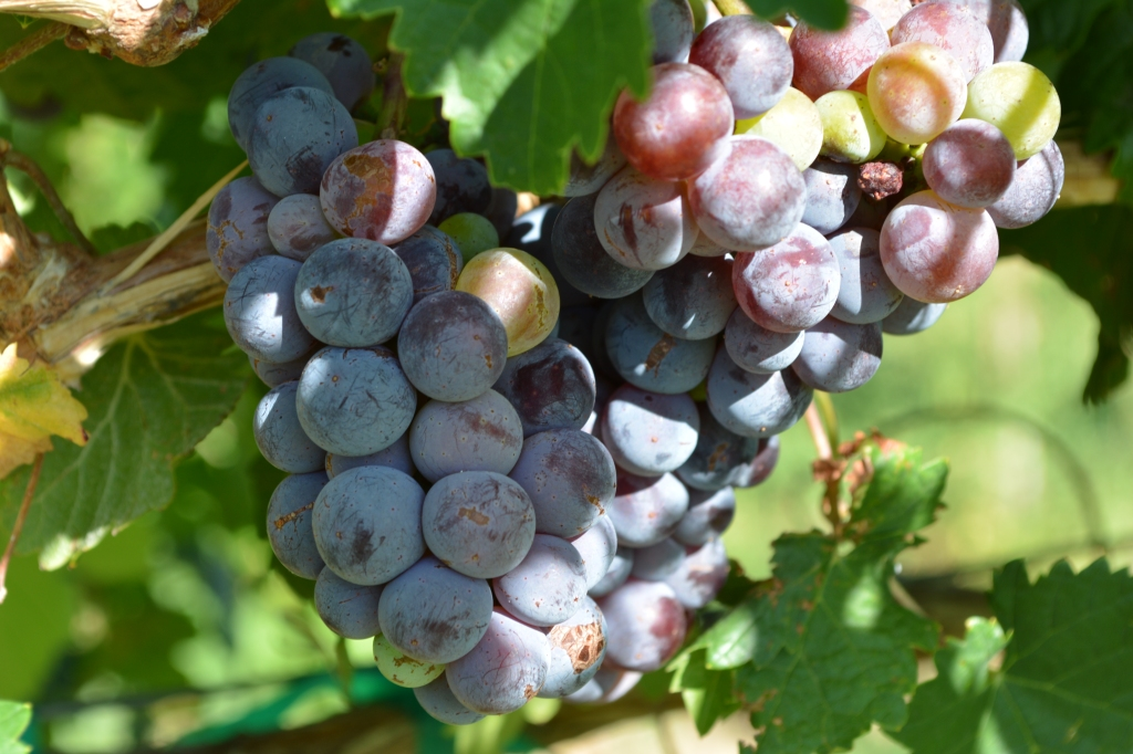 wine grapes along the byway