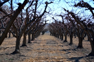 Palisade winter orchard