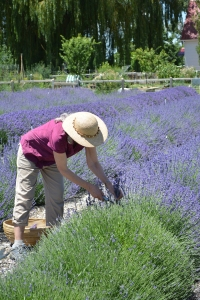 Carol Schott of Lamborn Mountain Farmstead harvesting lavender.